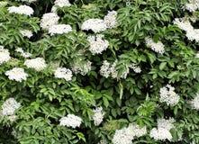 Vår för blomning för fläderbärbuske som blomstrar fruktfrukt Arkivfoto