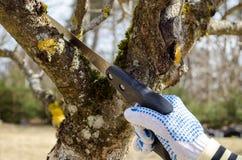 Vår för såg för hand för filial för fruktträd för handsnittklippning Royaltyfri Fotografi