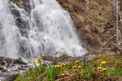 vår för vattenfall för Moder-och-styvmor gulingblommor Royaltyfri Foto