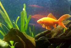 vår fartfyllda guldfisk Royaltyfri Fotografi