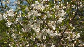 Vår Filial av ett blomningträd lager videofilmer
