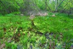 Vår Forest Landscape Illinois Arkivfoto