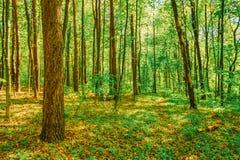 Vår gröna lövfällande Forest Woods för blomninggreen för filial ljus tree för fjäder för natur arkivfoton