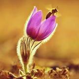 Vår Härlig blomstra blomma på en äng med ett bi Naturlig färgrik bakgrund för vår och solnedgång Pasque blomma arkivbild