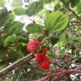 vår hem- mullbärsträd Arkivbilder