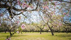 Vår i Madrid på Quinta de Molinos Almonds Park royaltyfri foto