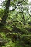 Vår i skogen, Skottland Arkivfoto