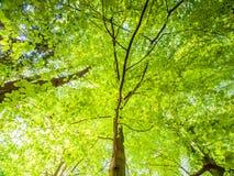 Vår i trädet för nedersta sikt för skog med frodigt ljust - gräsplan lämnar upplyst vid solen Tapet för naturlig bakgrund fotografering för bildbyråer