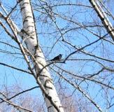 Vår i trädet, råka Royaltyfria Foton