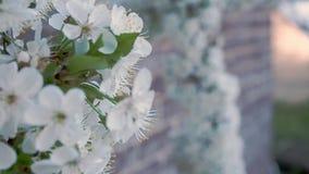 Vår i trädgården Sikt av att blomma sakura nära övre Ändra fokusen från framdel till baksida Selektiv fokus på vit stock video