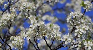 Vår körsbärsröda blomningar Royaltyfria Foton