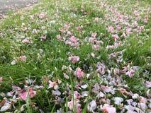 Vår-kronblad på gräset Arkivfoto