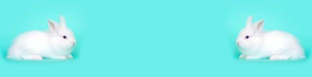 Vår- och påskbegreppsbild Den främre sikten av ett vitt sammanträde för kaninkanin på dess tafsar, över ett ljus - blå mintkarame Arkivbilder