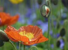 Vår Poppy Flower och knopp i solsken royaltyfri foto