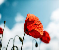 Vår Poppy Flowers Arkivbilder