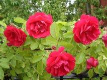 Vår Rosy Carpet steg blommor Royaltyfria Foton