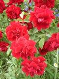 Vår Rosy Carpet steg blommor Royaltyfri Fotografi