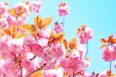 Vår Sakura Cherry Blossom arkivfoto