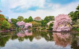 Vår sakura som blommar i Shinjuku Gyoen, parkerar, Tokyo, Japan Arkivbilder