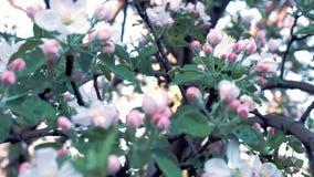 Vår Sikt av det blommande slutet för äpplefilial upp Fokus som ändrar från framdel till baksida Selektiv fokus på vita blommor arkivfilmer