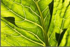 Vår som är nära upp av venation för makrogräsplantjänstledigheter i solljus Arkivfoton