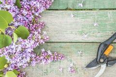 Vår som arbeta i trädgården begrepp: grupp av purpurfärgade lilor och handpruner royaltyfri fotografi