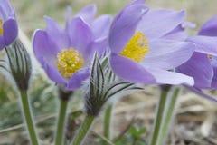 Vår som blommar windflower royaltyfria foton