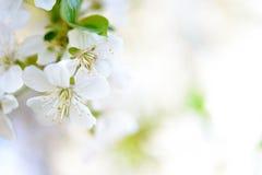 Vår som blomstrar Cherry Flowers på ljus suddig bakgrund fotografering för bildbyråer