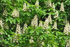 Vår som blomstrar den kastanjebruna (den sativa castaneaen) blomman Fotografering för Bildbyråer