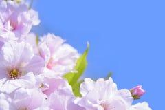 Vår som blomstrar Sakura Flowers på bakgrunden för blå himmel Arkivbild