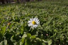 Vår Tid för Istanbul April 2019, gulliga Daisy Flower, tusensköna arkivfoton