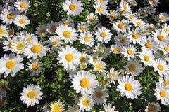 Vår Tid för Istanbul April 2019, gulliga Daisy Flowers, Daisy Field arkivbild