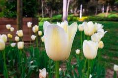 Vår Tid för Turkiet April 2019, Tulip Field, vit tulpan royaltyfri bild