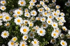 Vår Tid i Istanbul April 2019, gulliga Daisy Flowers, Daisy Field royaltyfria bilder