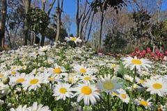 Vår Tid i Istanbul April 2019, gulliga Daisy Flowers, Daisy Field arkivbild