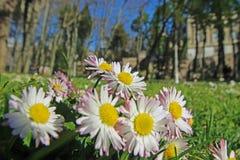 Vår Tid i Istanbul April 2019, gulliga Daisy Flowers, Daisy Field royaltyfri bild