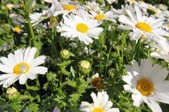 Vår Tid i Istanbul April 2019, gulliga Daisy Flowers, Daisy Field arkivfoton