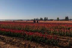 Vår Tulip Fields med fotografer Royaltyfri Fotografi