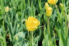 Vår Tulip Flower Arkivbilder