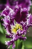 Vår Tulip Flower Arkivfoto