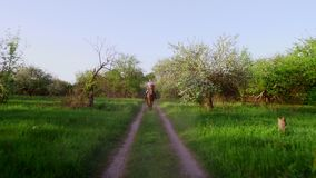 Vår utomhus, flickaryttare, jockeyridning på fullblods- härlig brun hingst, till och med det gamla blomstra äpplet stock video