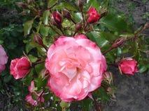 Våra Rosy Carpet Rose knoppar och blommor Arkivbilder