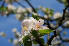 VårApple blomma Royaltyfri Fotografi