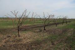 VårApple fruktträdgård Arkivbild