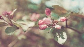 VårApple träd, vita blommor, rosa knoppar, sol- ljus pastellfärgad toning Arkivfoto