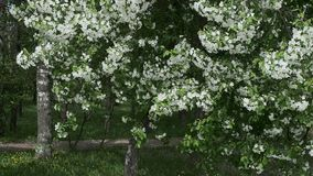 VårApple trädgård som svänger i vinden lager videofilmer
