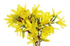 VårApril Forsythia buske filialer med guling blommar makro Royaltyfri Foto