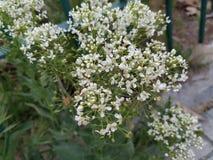 Vårar för vita blommor avslutade Spanien, Madrid royaltyfri foto