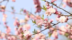 Vårbakgrund av det Sakura trädet stock video