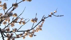 Vårbakgrund av ett blomstra aprikosträd arkivfilmer